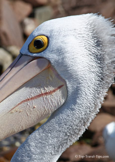 Head of a Pelican