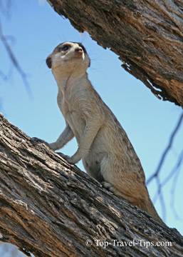 Single meerkat on a lookout in tree in Namibia
